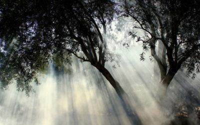 ¿Qué es un acebuche? El olivo silvestre