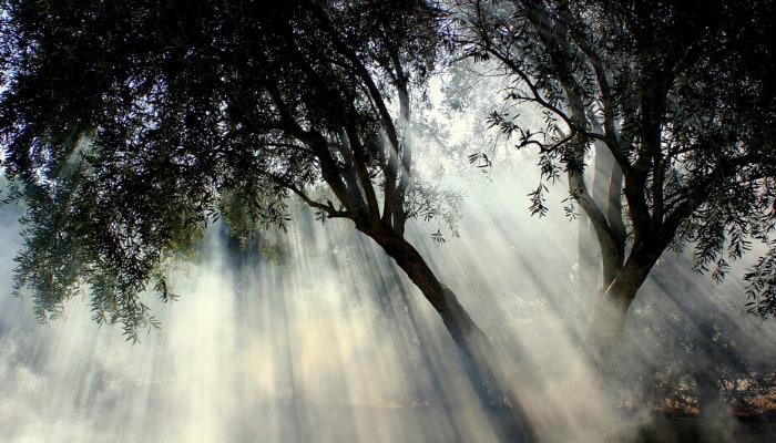 Acebuche, El olivo silvestre La Alacena de Rosario