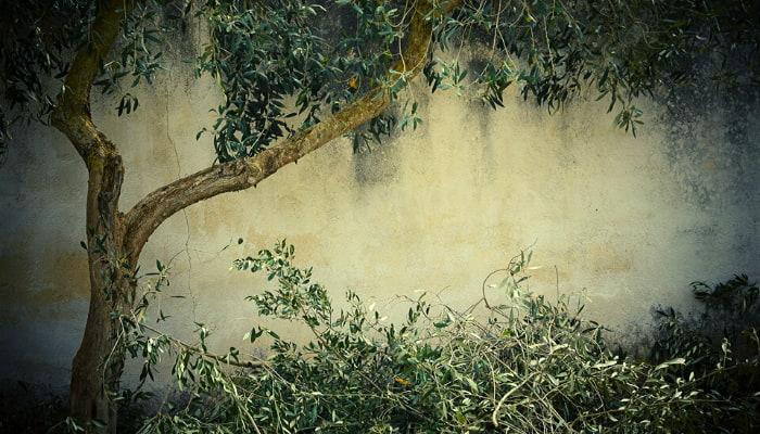 Poda del olivo La Alacena de Rosario